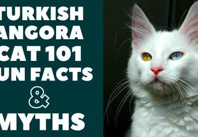 Only Kats Video: Turkish Angora Cats 101 : Fun Facts & Myths